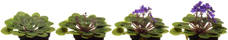 Tempo-lapso da violeta africana Imagem de Stock Royalty Free
