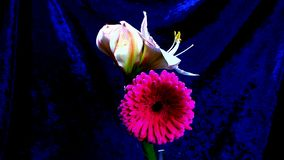 Tempo-lapso de crescer a flor cor-de-rosa vermelha vídeos de arquivo