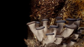 Tempo-lapso do cogumelo de ostra filme