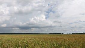 Tempo-lapso, nuvens brancas que voam no céu azul sobre o trigo amarelo do campo video estoque