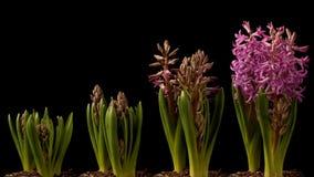 Tempo-lapso roxo do jacinto Fotografia de Stock Royalty Free