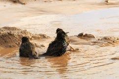 Tempo per un bagno di fango Immagini Stock