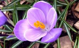 Tempo roxo da flor do açafrão na primavera Imagens de Stock Royalty Free