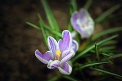 Tempo roxo da flor do açafrão na primavera Foco selecionado Foto de Stock Royalty Free
