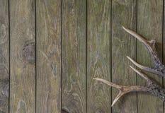 Temporada de caza: Astas de los ciervos Imágenes de archivo libres de regalías