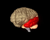 Temporal Lobe Stock Images