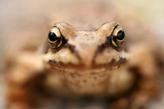 棕色青蛙蛙属temporaria 免版税库存图片