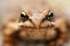 temporaria brun de rana de grenouille Images libres de droits