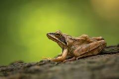 Temporaria commun européen de Rana de grenouille dans la République Tchèque photo libre de droits