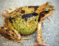 Temporaria de Rana (grenouille commune) Image stock