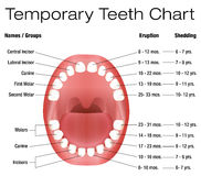 Temporary Teeth Primary Baby Eruption Shedding Chart. Temporary teeth - names, groups, period of eruption and shedding of the children´s teeth - three Royalty Free Stock Photo