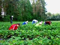 Temporeros de las mujeres para escoger las fresas Foto de archivo libre de regalías
