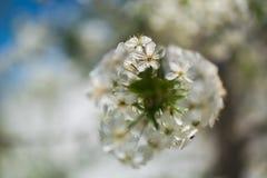 Tempos de mola - árvore de cereja de florescência Foto de Stock
