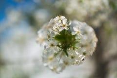 Tempos de mola - árvore de cereja de florescência Imagens de Stock