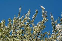 Tempos de mola - árvore de cereja de florescência Fotos de Stock