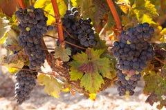 Tempranillo druvor, Rioja region, Spanien Arkivfoto