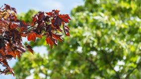 Temps clair japonais de branche d'érable au printemps Shaina Japanese Maple (palmatum d'Acer) photos stock