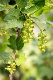 Temps d'élevage de buisson de groseille, de fleurs et de fruits au printemps Image stock