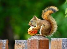 Temps de déjeuner d'écureuil. Photographie stock