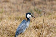 Temps de dîner - oiseau de héron de grand bleu Image stock