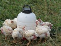 Temps de dîner pour les poulets organiques Images stock