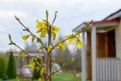 Temps de fleurs d'arbre de forsythia au printemps Images libres de droits