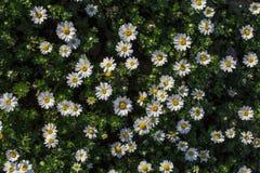 Temps de fleurs de marguerites au printemps Vue supérieure images stock