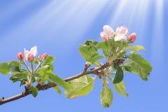 Temps de floraison de pommier au printemps Ciel bleu photographie stock libre de droits