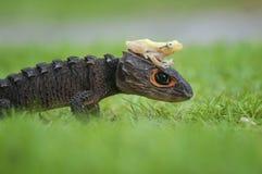 Temps de marche de Croc et de grenouille d'or Image libre de droits