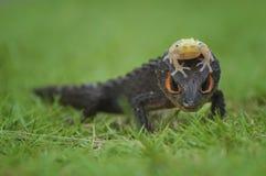Temps de marche de Croc et de grenouille d'or Photographie stock