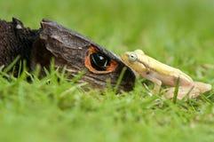 Temps de marche de Croc et de grenouille d'or Photos libres de droits