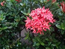 Temps de matin frais rouge de fleur et de goutte de pluie de transitoire photo libre de droits