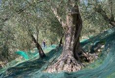 Temps de moisson dans le jardin olive Photographie stock