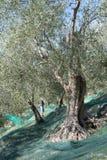 Temps de moisson dans le jardin olive Photos libres de droits