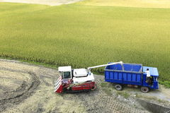 Temps de récolte de riz photo libre de droits