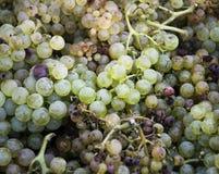Temps de récolte, pile de raisins blancs frais, région de chianti, Toscane, Italie photo stock