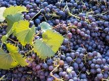 Temps de récolte, pile de raisins noirs frais, région de chianti, Toscane, Italie photo stock