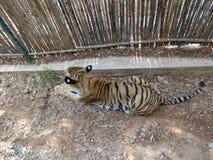 Temps de repos de tigre au zoo juste à coté d'un mur Photographie stock libre de droits