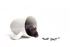 Temptation. Black bear hamster in a coffee cup, lured and tempted by the sunflower seeds. Closeup isolated on white stock photography