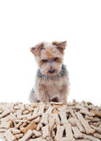 Temptation. Yorkshire terrier looking at a big pile of dog treats Royalty Free Stock Image