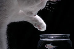 Temptation. A white cat reaches a paw into a fish bowl to try and catch a fish Royalty Free Stock Photography