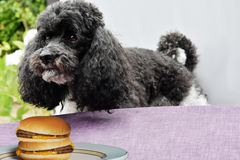 Temptation. I think that is for me. Dog just before he steals a hamburger Royalty Free Stock Photos
