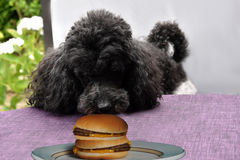 Temptation. I think that is for me. Dog just before he  steals a hamburger Stock Photography