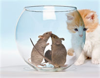 Tempted kitten. Little red kitten observing three mice in a safe fish tank royalty free stock photography