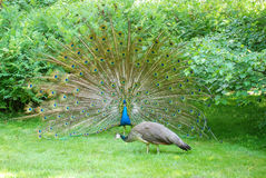 Tempting peacock 4 Royalty Free Stock Photography