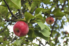 Tempting Red Apples on the apple tree. Apples close-up. Red apples hanging low on the tree make a tempting treat. Tempting Red Apples on the apple tree. Apples Royalty Free Stock Photos
