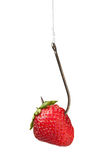 Tempting strawberry bait Stock Images
