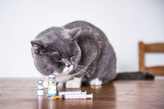 Ten British shorthand cat is sick Stock Photography