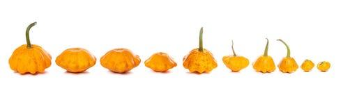 Ten bush pumpkins abreast on white background Stock Image