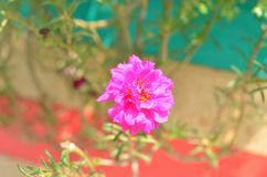 Ten-clock flower blooming. Natural royalty free stock images